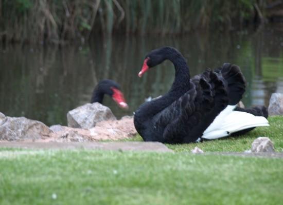 Dawlish Black Swan Devon
