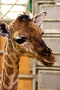 The calf is being reared by keepers, Photo Credit: Paignton Zoo