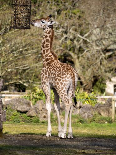 Giraffe named