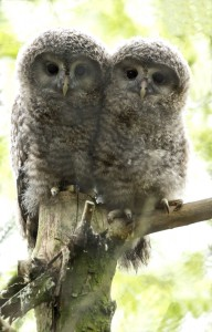 2014 06 PZ Ural owl fledglings