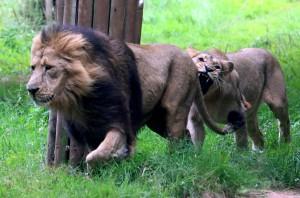 2015 08 PZ lion bite