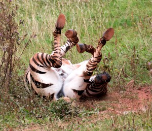 2015 08 PZ red zebra