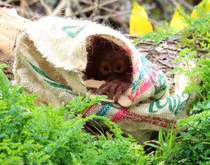 Tatau in a sack