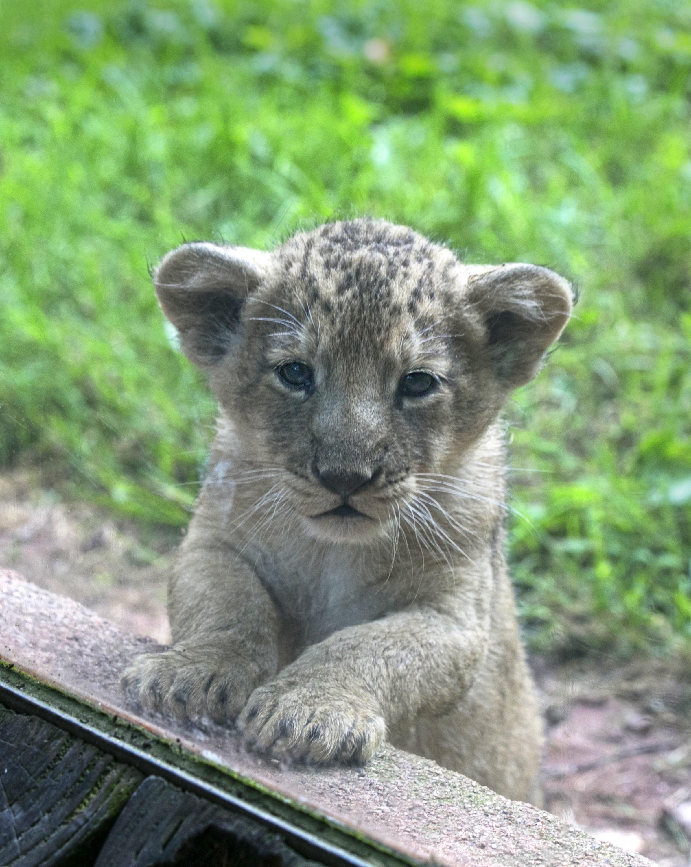 2016 07 PZ Asiatic lion cub portrait large