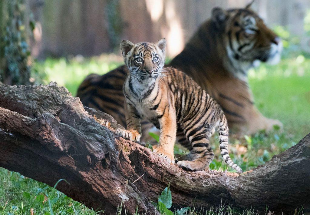 2016 08 PZ tiger cub debut crop 5 (3)